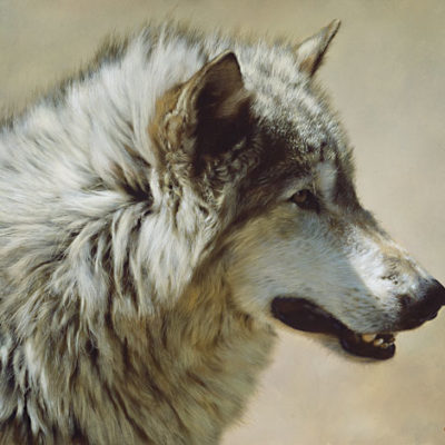 Steadfast And Resolute Gray Wolf Portrait Carl Brenders