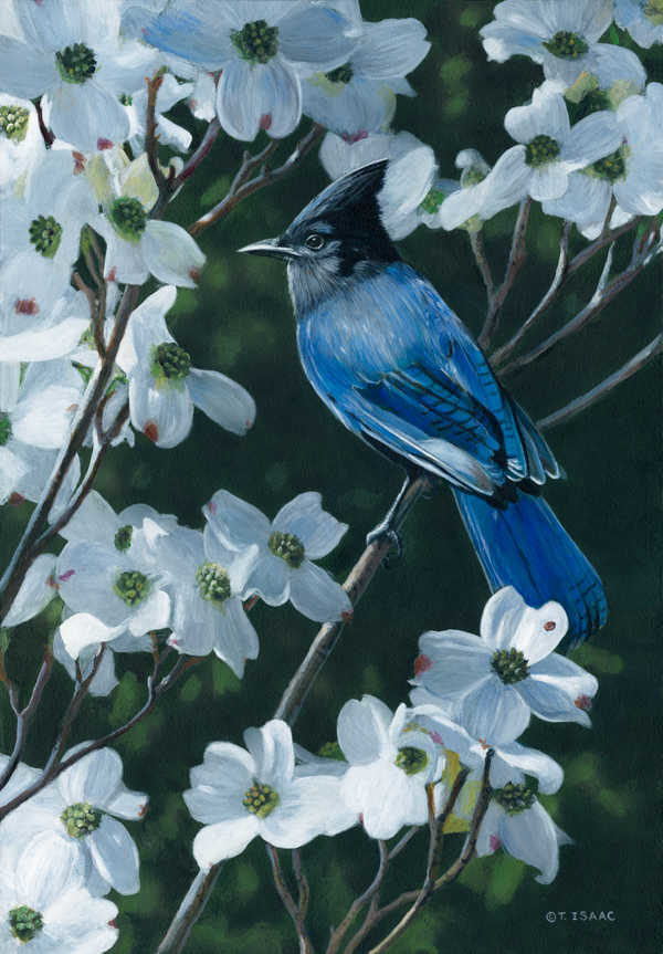 Steller's Jay And Dogwood Terry Isaac