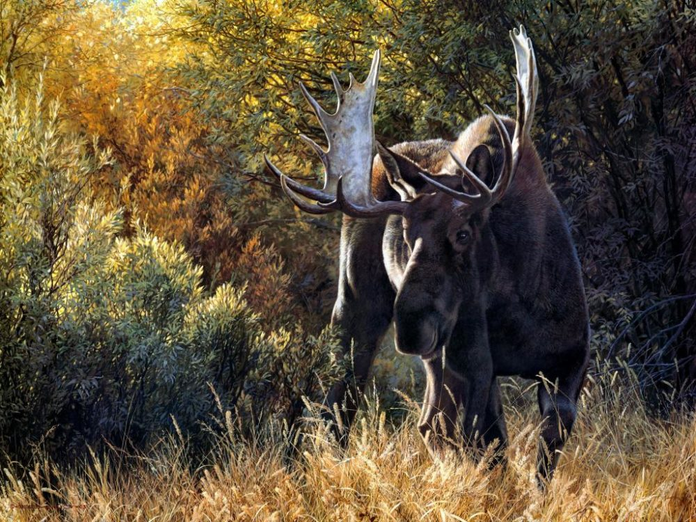Sudden Encounter Bull Moose Carl Brenders