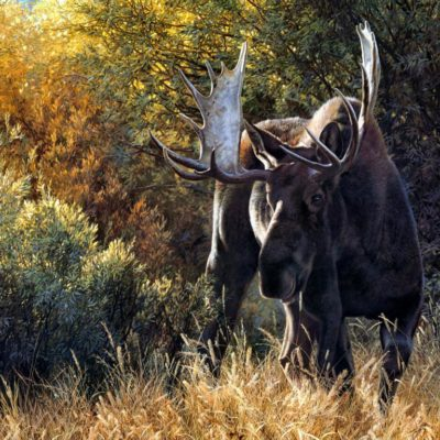 Sudden Encounter Bull Moose Carl Brenders