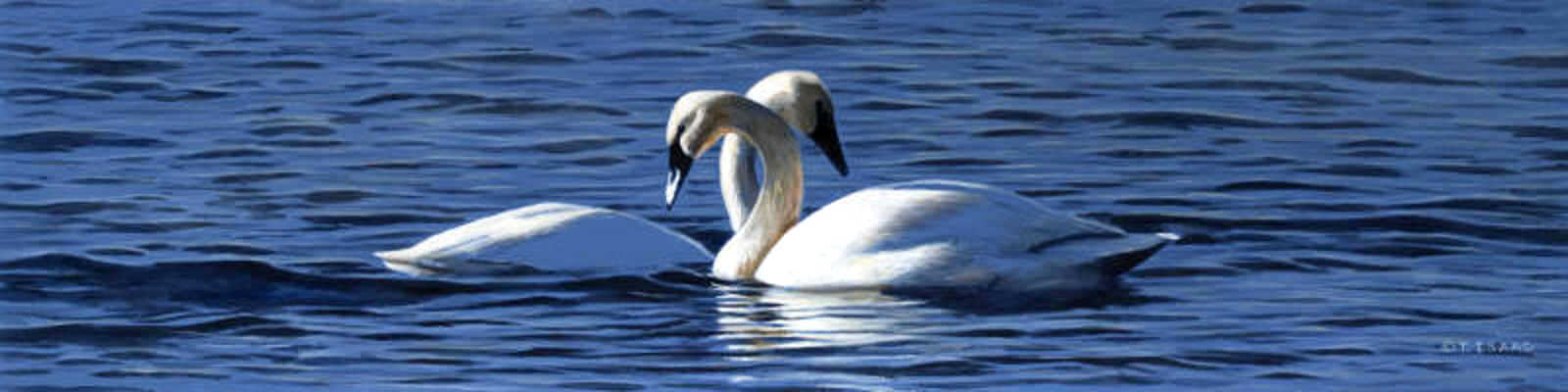 Swan Embrace Terry Isaac