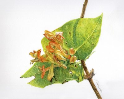 Twinning Honeysuckle (lonicera dioica) - Charity Dakin