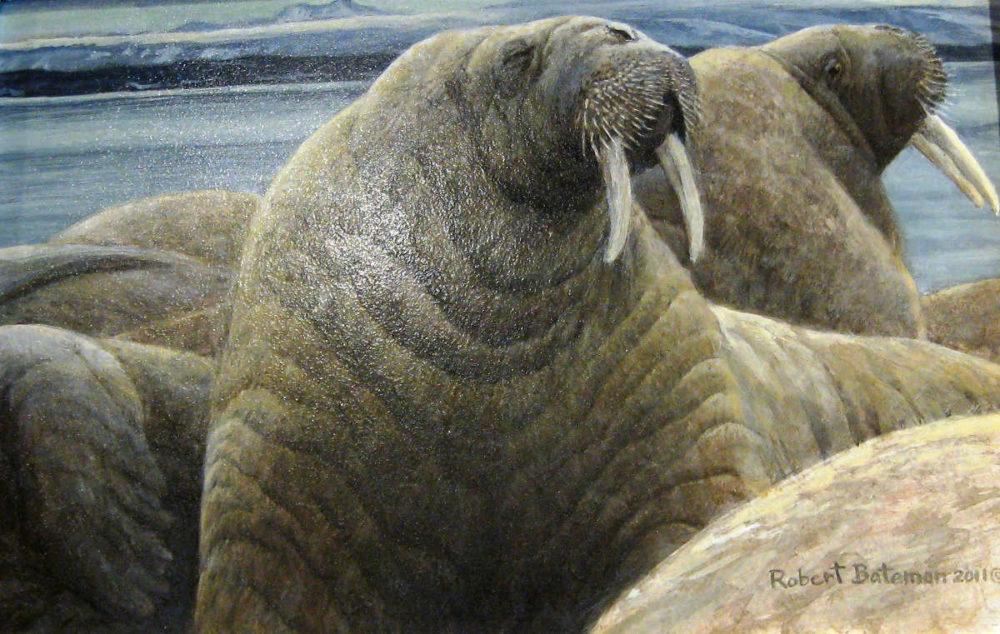 Walrus At Svalbard Robert Bateman