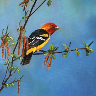 Western Tanager - Andrew Kiss