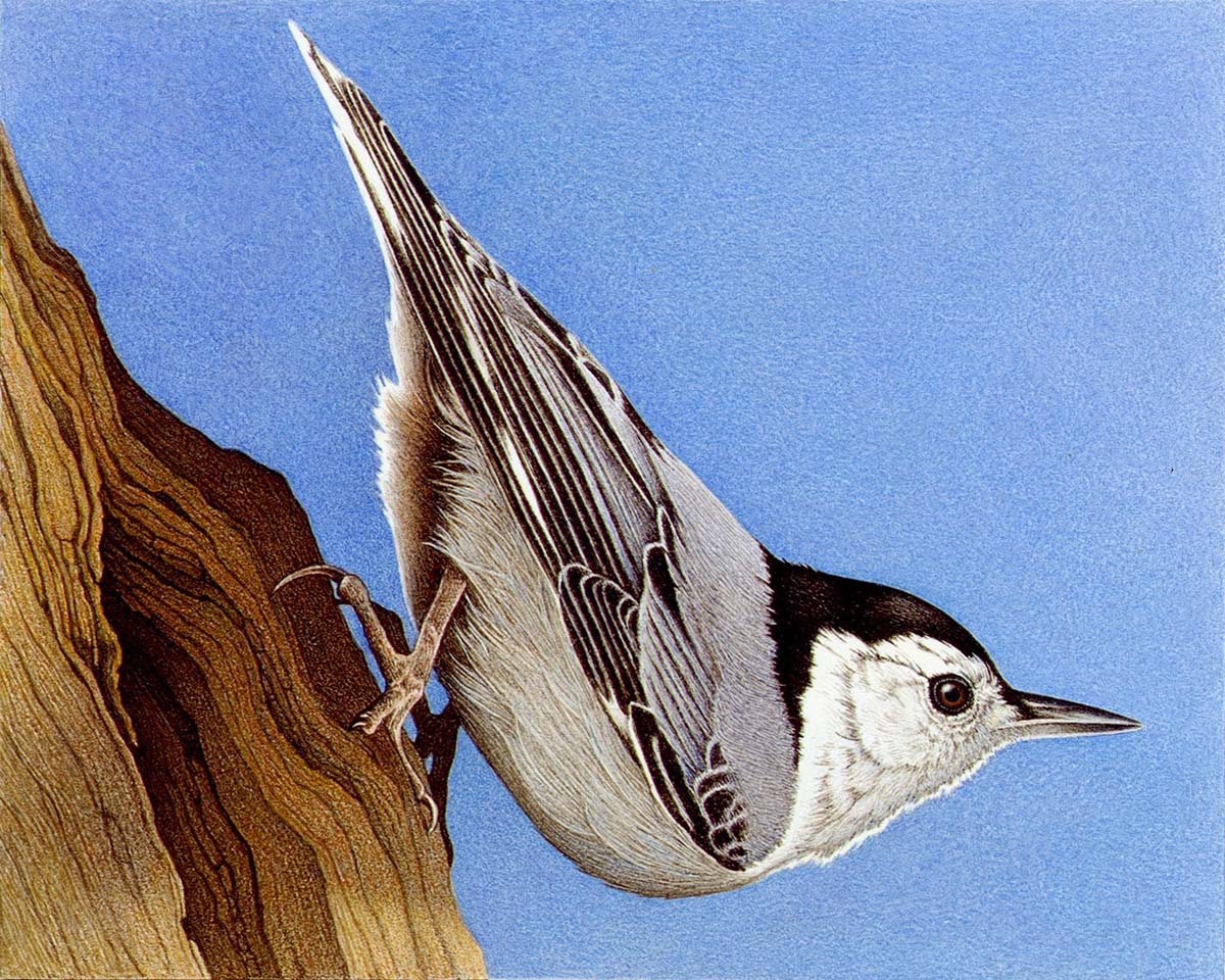 White-Breasted Nuthatch - Barbara Banthien