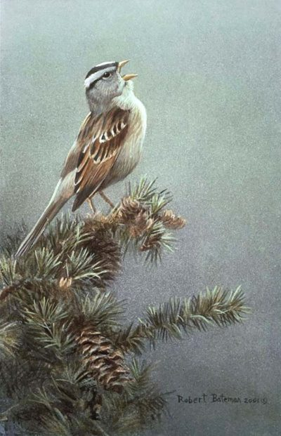 White Crowned Sparrow In Douglas Fir - Robert Bateman