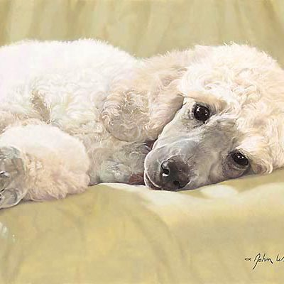 White Standard Poodle Best Loved Breeds John Weiss