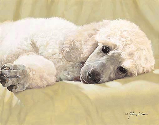 White Standard Poodle Best Loved Breeds John Weiss