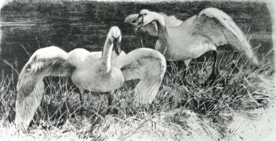 Wide Horizon - Tundra Swans - Etching - Robert Bateman