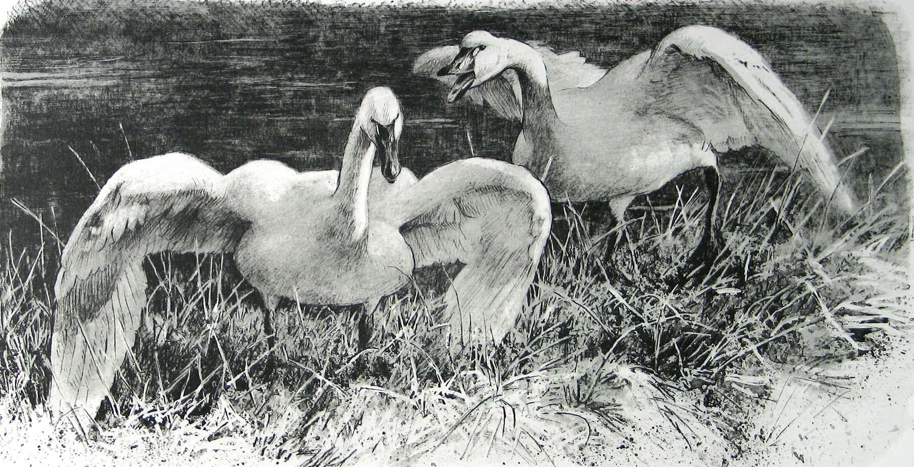 Wide Horizon - Tundra Swans - Etching - Robert Bateman