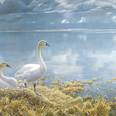Wide Horizon - Tundra Swans - Robert Bateman