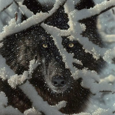 Winter Black Wolf - Collin Bogle