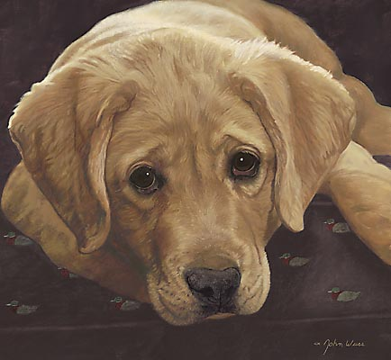 Yellow Labrador Retriever Best Loved Breeds John Weiss