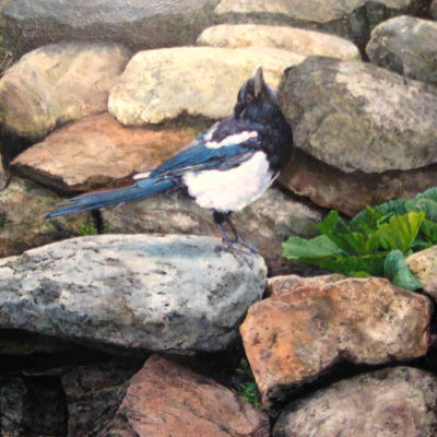 Young Magpie On The Rocks Kerri Burnett